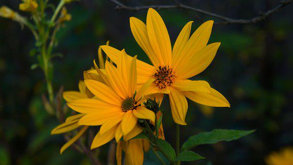 Nature, Plants, Yellow, Flowers, Garden, Decorative