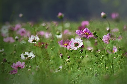 Cosmos, Landscape, Flowers, Summer, Scenery, Nature