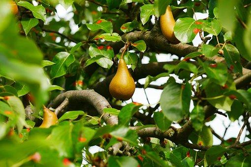 Pear, Pyrus Malus, Fruit, Nature, Fruit Tree, Pears