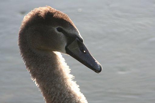 Swan, Portrait, Beak, Pen, Elegant, Water, Nature