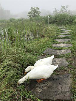 Duck, Goose, Animal, New, Poultry, Feather, Beak, Birds
