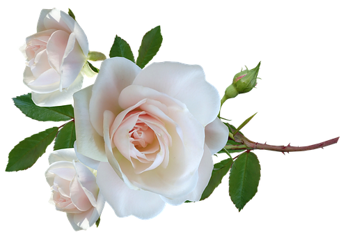 Flower, Roses, Stem, Leaves, Delicate, Perfume, Cut Out