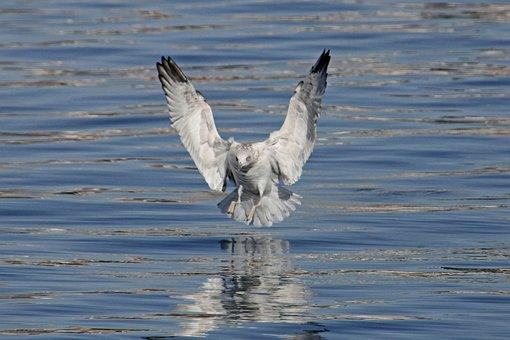 Seagull, Bird, Wing, Sea, Flying, Animal, Animal World