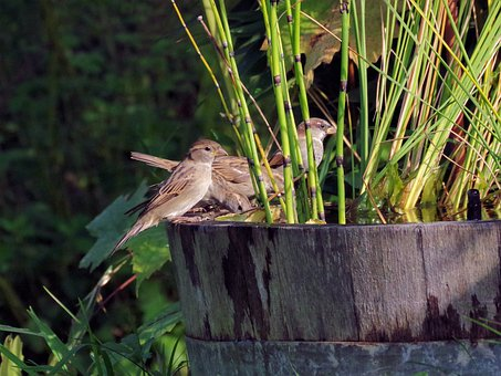 Bird, Garden, Sparrow, Songbird, Small Bird, Sitting