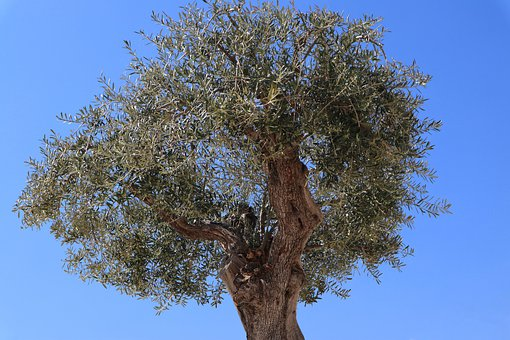 Olive, Tree, Olives, Green, Nature, Leaves, Branch