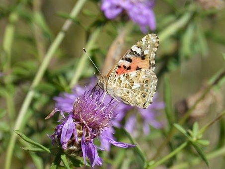 Butterfly, Vanesa, Vanesa From Thistles, Vanessa Cardui