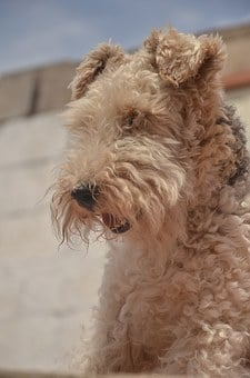 Airedale Terrier, Fidelity, Animals, Dogs
