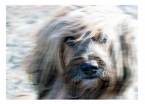 Terrier, Canine, Tibetan Terrier, Pet, Animal, Dog
