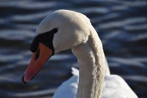 Animal, Swan, Swans, Close Up, Pride, Water Bird, Bird