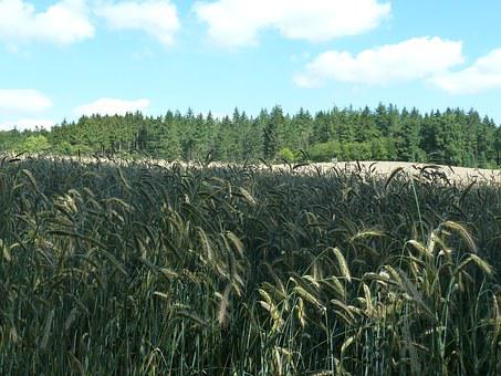 Rye, Cereals, Arable, Summer, Nature, Field