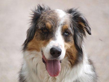 Dog, Drunk, Schäfer Dog, Australian Shepherd