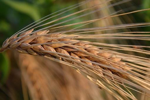 Ear, Barley, Cereals, Nature, Grain, Agriculture