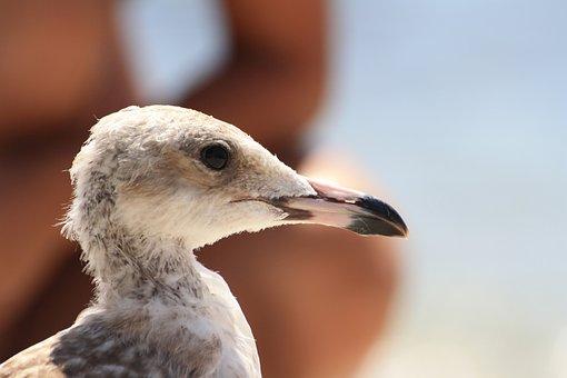 Seagull, First Floor, Seabirds, Birds, Bird, Animals