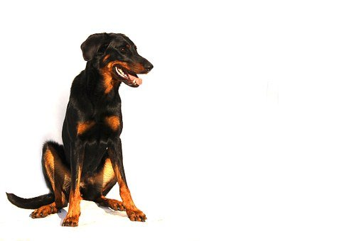 Beauceron, Dog, White, Animal, Breed, Background, Black