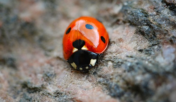 Ladybug, Red, Points, Black Points, Spring, May, Macro