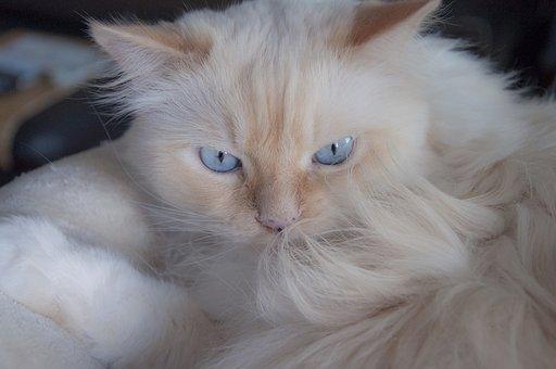 Cat, Blue Eye, German Longhaired Pointer, Pet