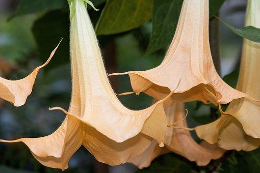 Angel Trumpets, Brugmansia, Genus, Nightshade