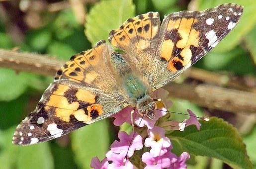 Butterfly, Painted Lady, Cardui, Vanessa, Painted, Lady