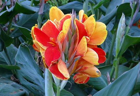 Canna, Keli, Canna Lily, Flower, Orange, Cannaceae