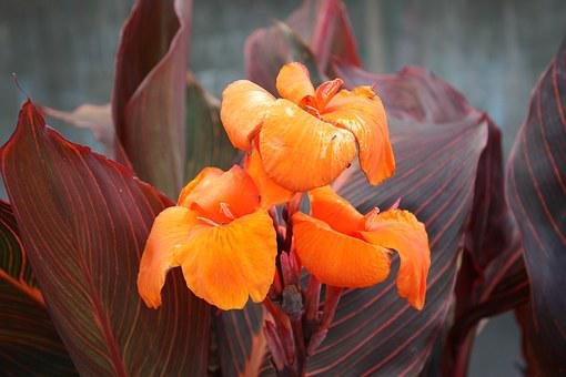 Canna Lily, Canna Hybrid, Flower, Orange Petals
