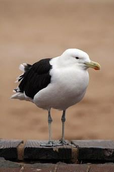 South Africa, Garden Route, Cape, Nature, Seagull