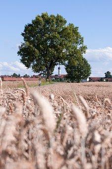 Cereals, Staple Food, Grain, Cornfield, Field, Nature