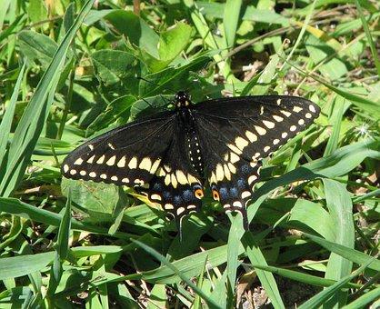 Eastern Black Swallowtail, American Black Swallowtail