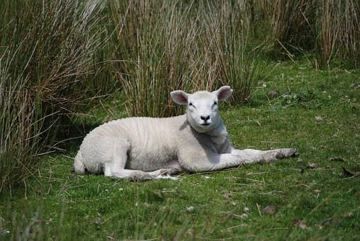 Lamb, Wild, Green, Animal, Nature, Sheep, Farm, Baby