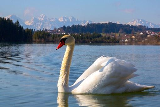 Swan, Bird, White, Lake, Water Bird, Nature, Fly