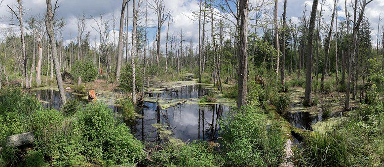 Marsh, Bialowieza Forest, Forest, Water, Poland