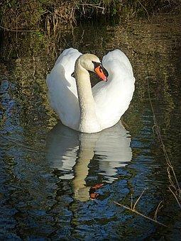 Swan, Lake, Water Bird, Waters, Gooseneck, Elegant