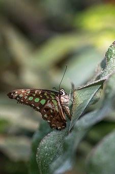 Butterfly, Swallowtails Jay, Graphium Agamemnon