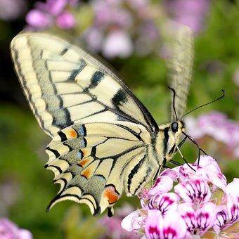 Papilio, Machaon, Pelargonium, Graveolens, Butterfly