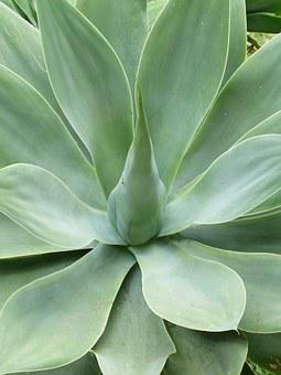 Dragon Tree-agave, Leaves, Plant, Green