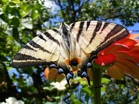 Butterfly, Scarce Swallowtail, Green, Iphiclides