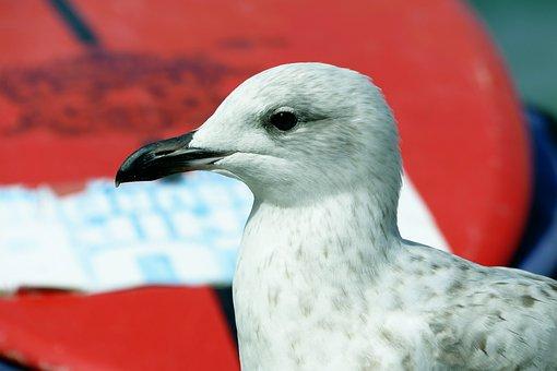 Seagull, Bird, Animal, Nature, Gull, Sea, Water