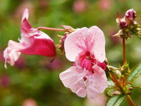 Indian Springkraut, Himalayan Balsam, Annual