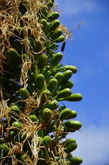Dragon Tree-agave, Inflorescence, Green