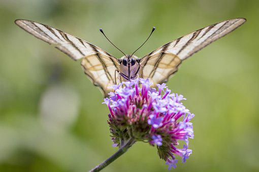 Butterfly, Scarce Swallowtail, Insect, Animal, Wing