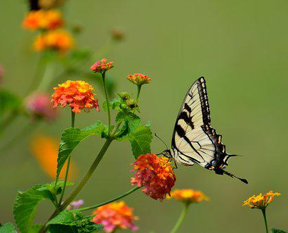 Swallow Tail, Butterfly, Insect, Black, Nature, Resting