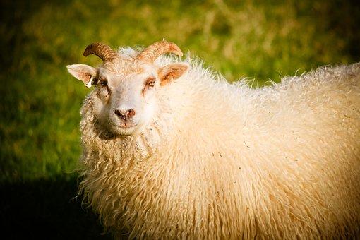 Sheep, Ram, Lamb, Animal, Nature, Farm, White