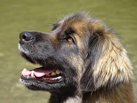 Leonbergers, Dog, Blond, German Longhaired Pointer