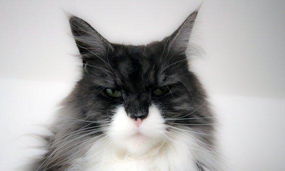 Maine, Coon, Cat, Cat Face, Animals, Longhair Cat