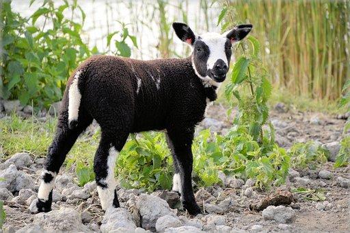 Sheep, Farm, Animal, Mammal, Head, Domestic, Milk, Meat