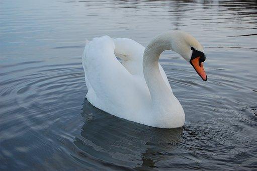 Swan, Lake, Nature, Water, Fidelity, Tenderness