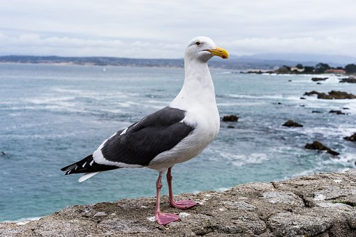 Seagull, Monterey, Ocean, Bird, California, Norcal
