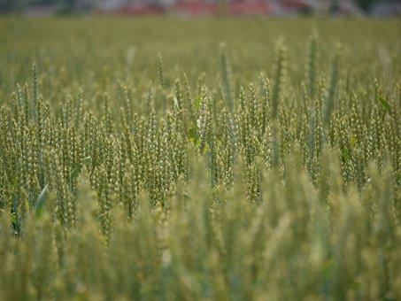 Wheat Field, Cereals, Far, Nutrition, Field, Wheat