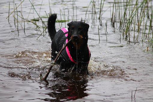 Dog, Puppy, Beauceron, Pet, Cute, Animal, Black