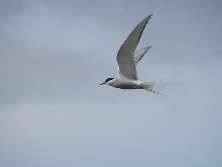 Tern, Bird, Sea, Flight, Fly, Wildlife, Nature, Seabird