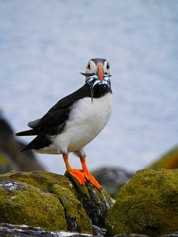 Puffin, Seabird, Nature, Wild, Animal, Cliff, Sand Eel